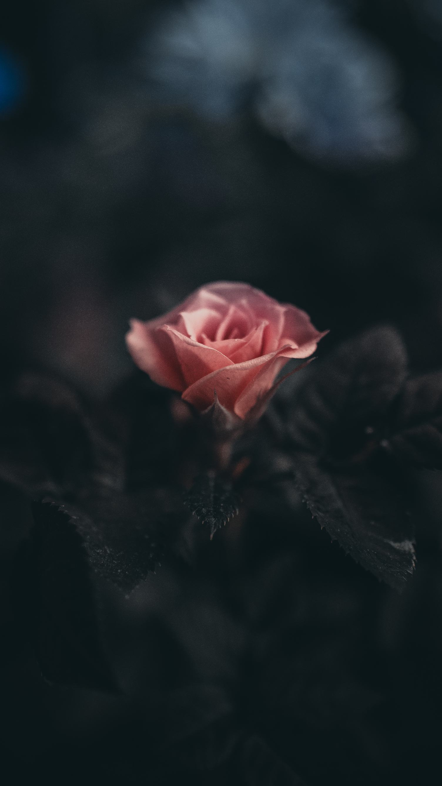 Dramatic Shot of a Single Pink Rose