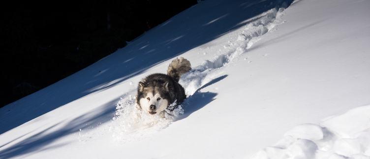 Running Siberian Husky Dog on the Snow
