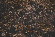 Autumn Texture Brown Oak Leaves Background