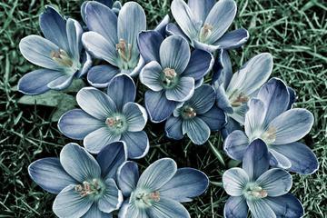 Crocus Spring Flowers Closeup