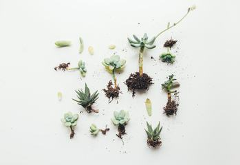 Green Leaves and roots of Succulent on White Background, Top View