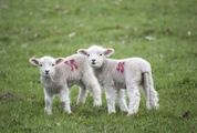 Two Baby Lambs on Pasture