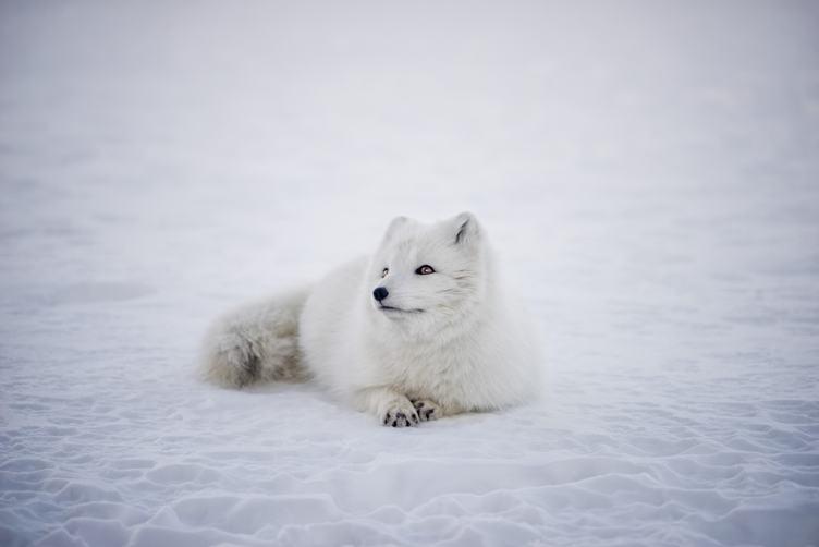 Arctic Fox Lying on Snow