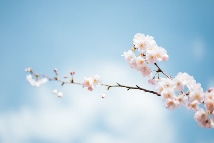 Blooming Cherry Tree on Blue Sky