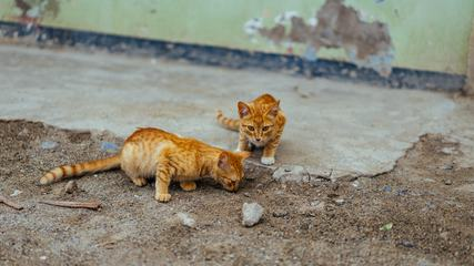 Two Funny Small Red Kittens Outdoors