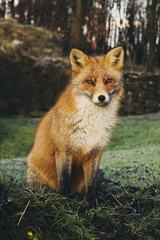 Red Fox Sitting on a Grass
