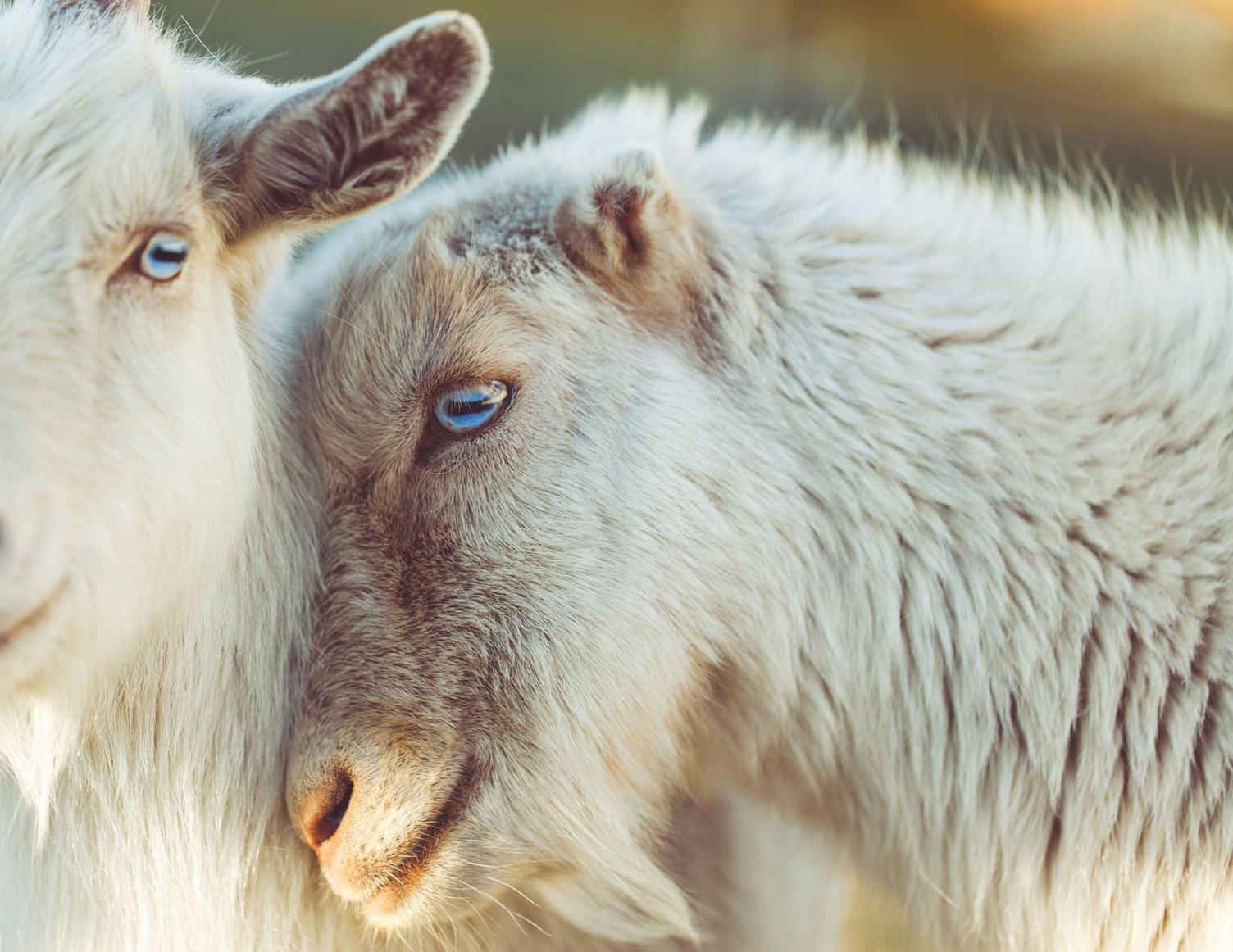 Closeup Portrait of a Head Goat