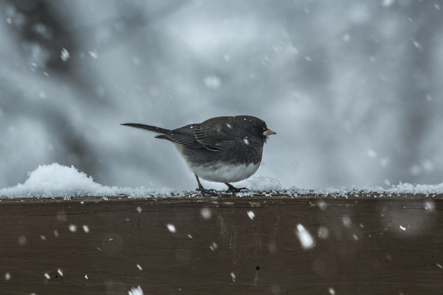 Small Bird with White Belly on a Wooden Railing, Snowy Day