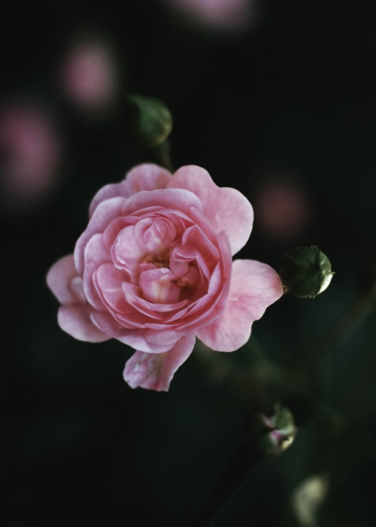 Single Pink Rose on Dark Background, Top View