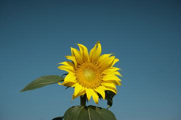 Single Sunflower against Blue Sky