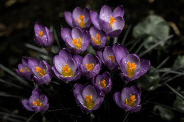 First Spring Flowers View of Blooming Violet Crocuses