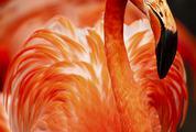 Portrait of Flamingos Head in Profile