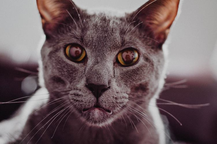 Portrait of a Purebred Russian Blue Cat
