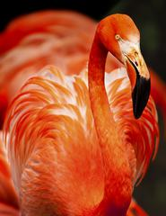 Portrait of Flamingos Head in Profile