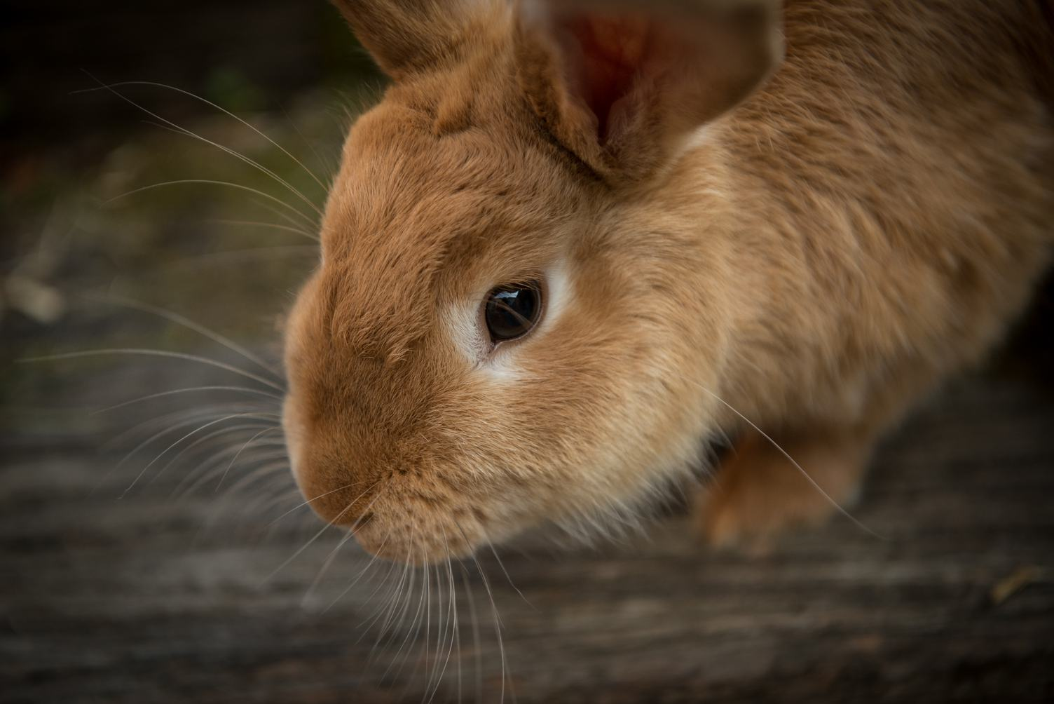 Brown Domestic Rabbit