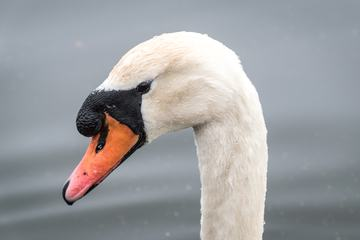 White Swan Head Portrait
