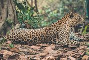 Jaguar Resting on Dry Leaves