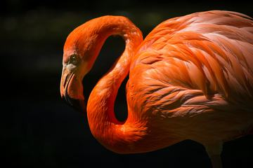 Single Flamingo on Dark Background