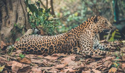 Jaguar Resting on Dry Leaves