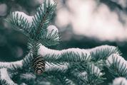 Spruce Branch Under Snow with Single Cone