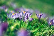 Magic Blooming Spring Purple Flowers Crocus