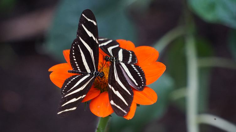 Close up of Two Black and White Butterflies on Orange Flower