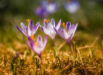 Spring Flowers Violet Crocus Growing in Wildlife