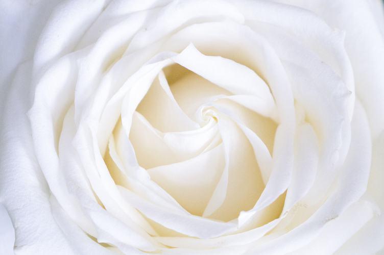Cute White Rose Petals Close Up