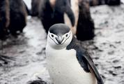 Chinstrap Penguin Looking at Camera
