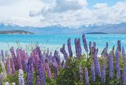 Field of Violet Lupin Flowers on the Shore of Lake Tekapo, New Zealand