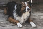 Border Collie Laying on a Wooden Floor