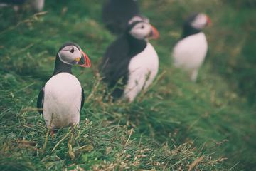 Atlantic Puffin Birds that Look Like Penguins but Can Fly