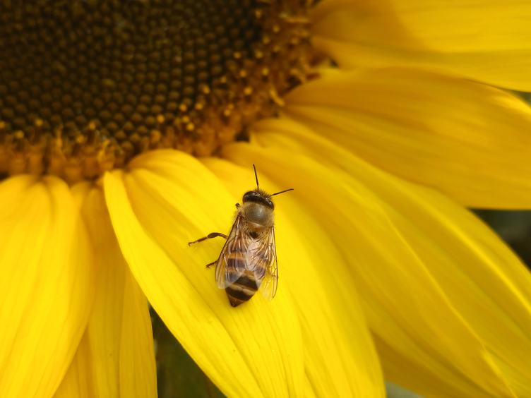 Close Up of Bee on Yellow Blooming Sunflower