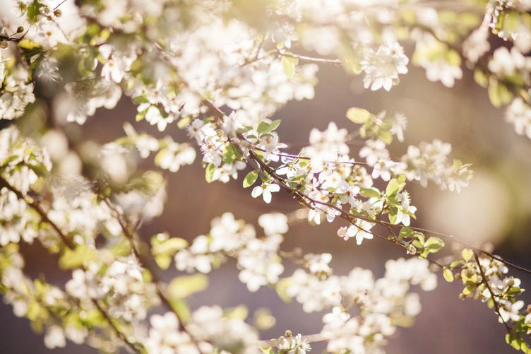 Spring White Flowers Branch on Blurred Background