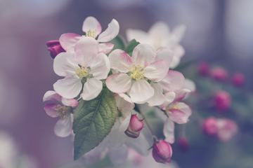 Beautiful Spring Blooming Apple Tree Branch