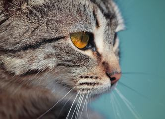 Domestic Cat Closeup Portrait
