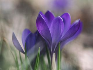 Two Crocuses Flowers