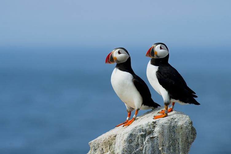 Two Cute Atlantic Puffin Birds Standing on the Rock