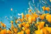 Orange Poppy Filed against Blue Sky