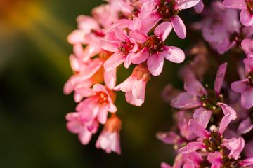 Close Up of Branch Pink Flowers