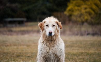 Golden Retriever Dog sitting with Wet Hair Outdoors