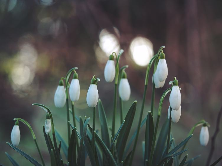 Buds of Beautiful Snowdrop Flowers - Galanthus Nivalis at Spring