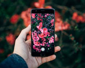 Taking a Smartphone Photo of a Flowering Quince