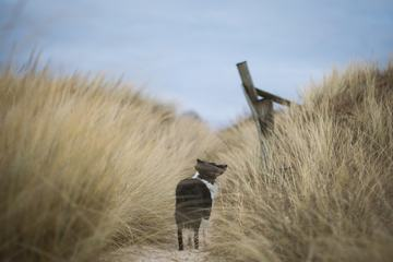 Dog Walk on a Sandy Path with Tall Beach Grass