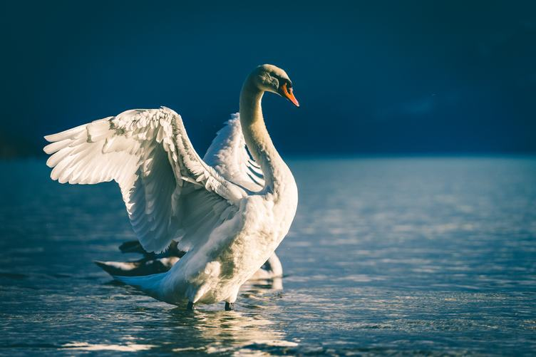 White Swan on a Lake in Water