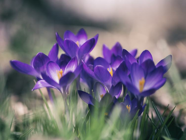 Closeup of Beautiful Purple Crocuses in the Spring Time