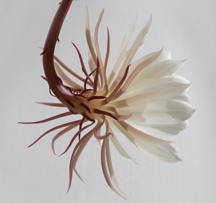 Closeup of Cactus Flower on a White Background