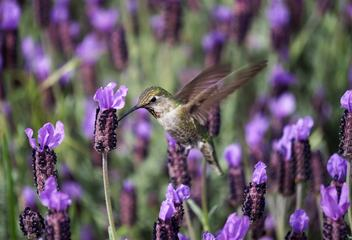 Hummingbird Feeding in Flight from Lavender Flowers