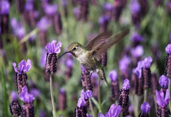 Hummingbird Feeding in Flight from Lavender Flowers