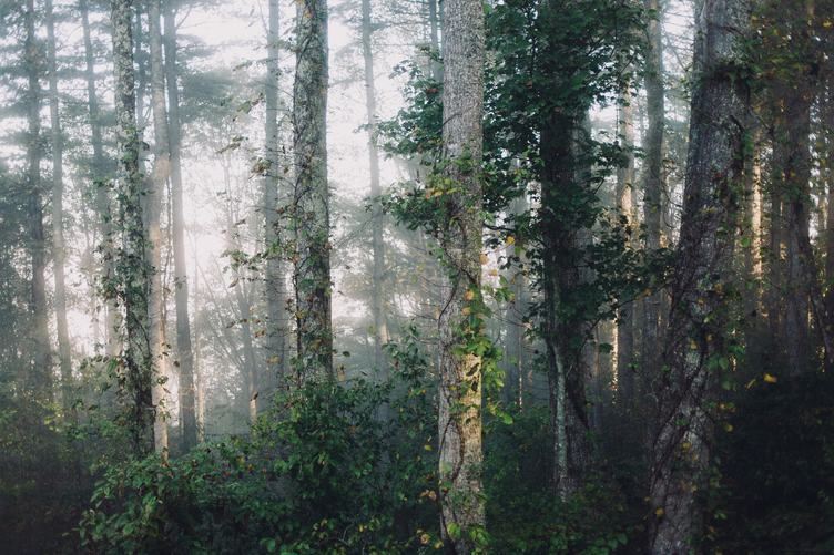 Mysterious Forest in the Mist